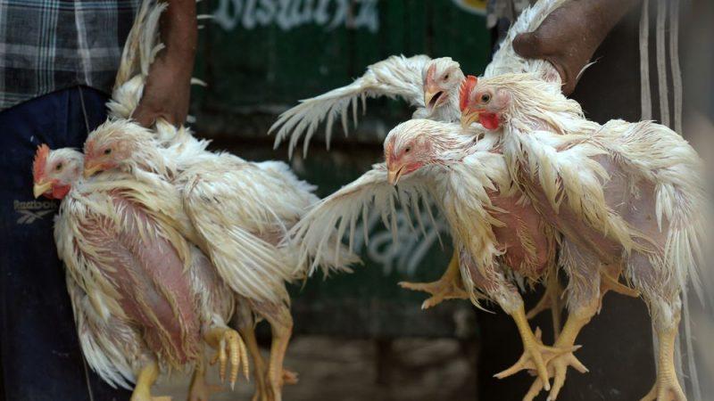 Les autorités maliennes confirment la présence de la grippe aviaire au Mali